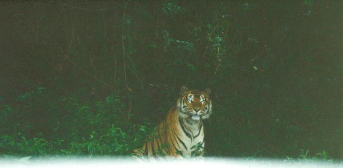 Ind Sumatran Tiger 1999